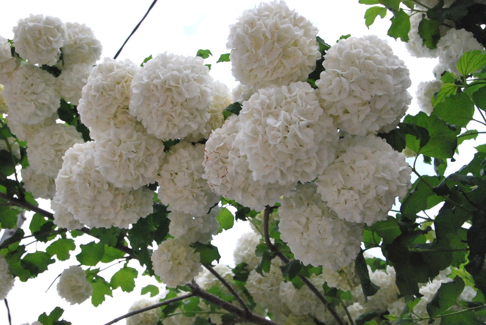 Fotos de flores arbusto de flores enormes for Arbustos con flores
