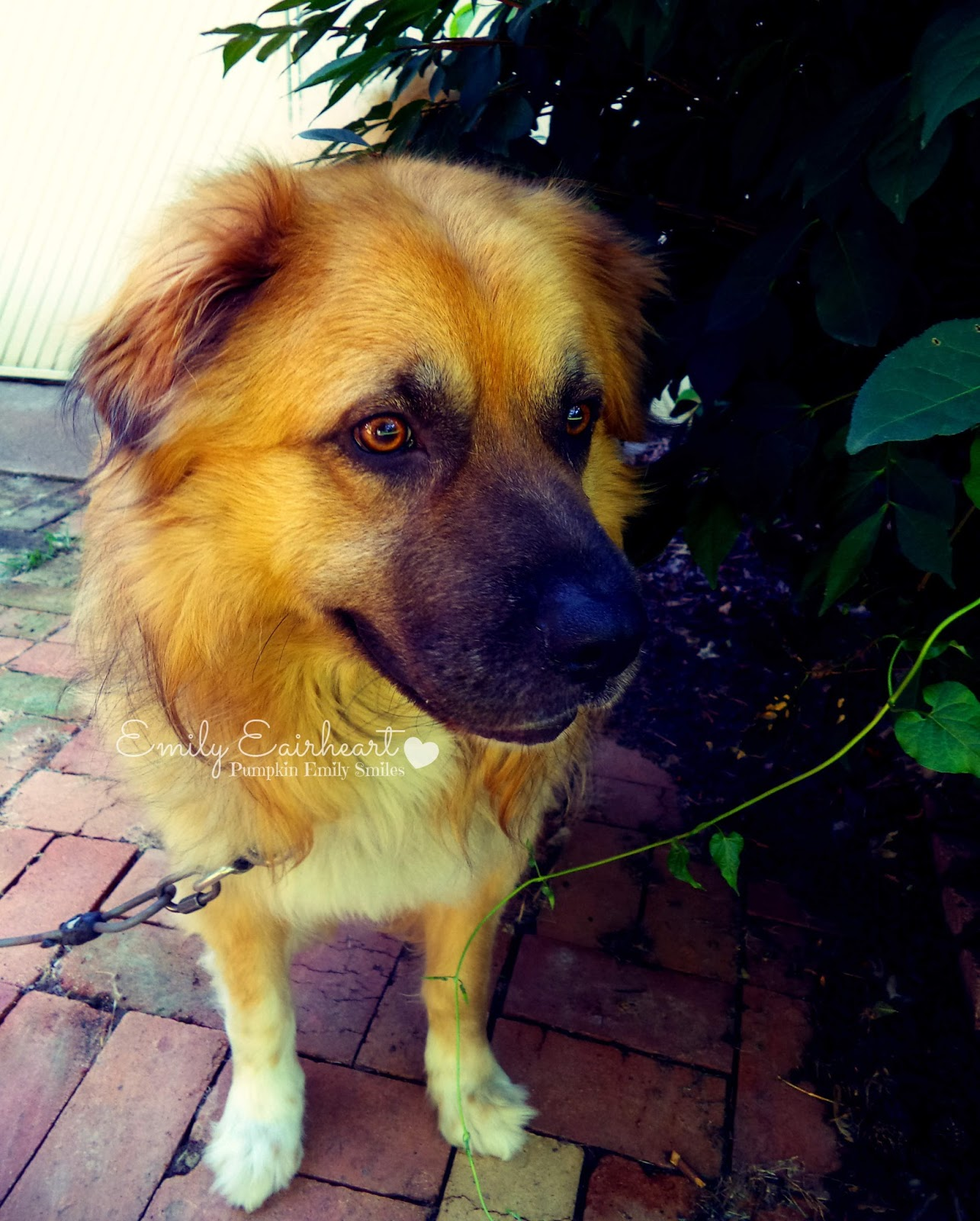 Rocky, German Shepherd and Golden Retriever Mix