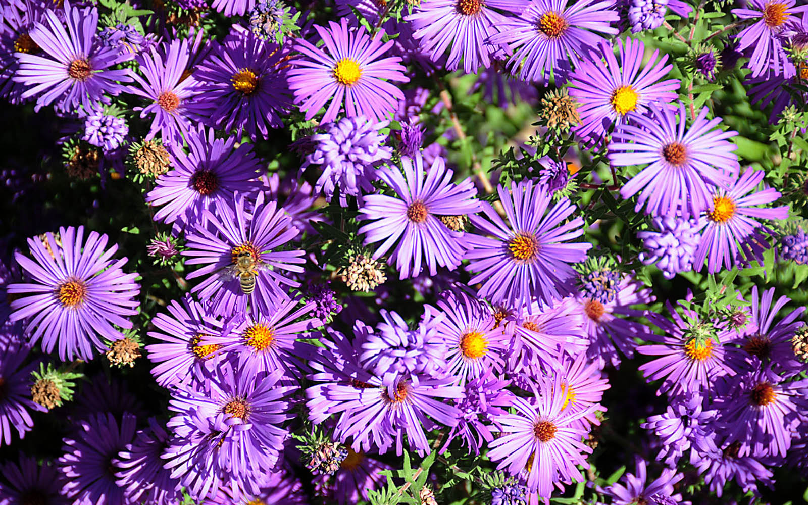 Tag: Aster Flowers Wallpapers, Backgrounds, Photos, Images and ... Flowers
