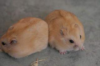 Hamster Hibrid