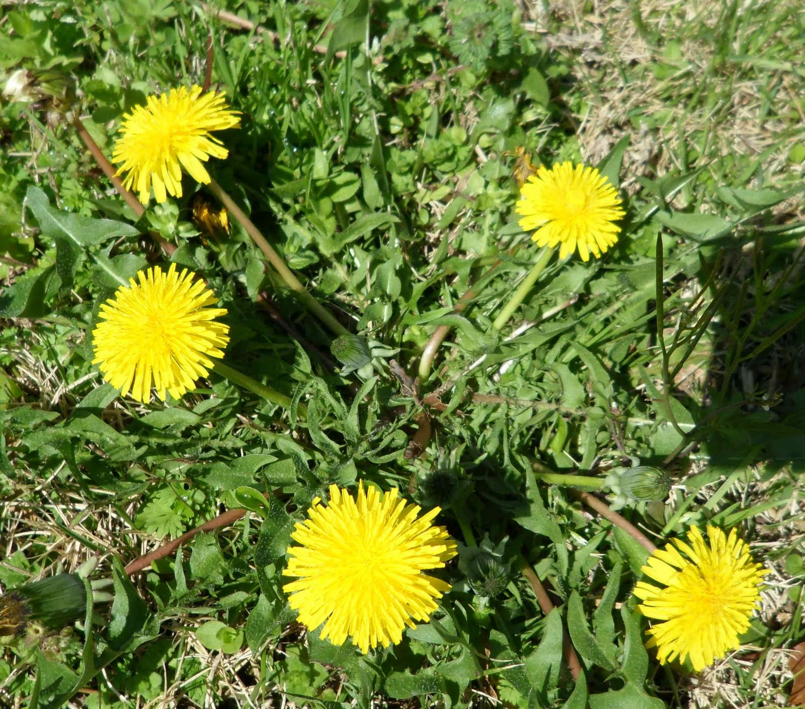 how to get rid of dandelions in my lawn uk
