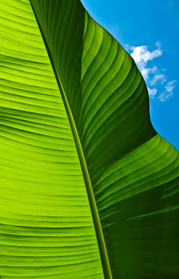 Banana Leaf - Botanical Photography