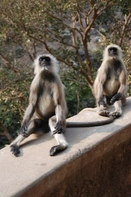 Meditating Monkeys Seen On www.coolpicturegallery.us