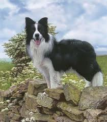 Part-Border Collies picture