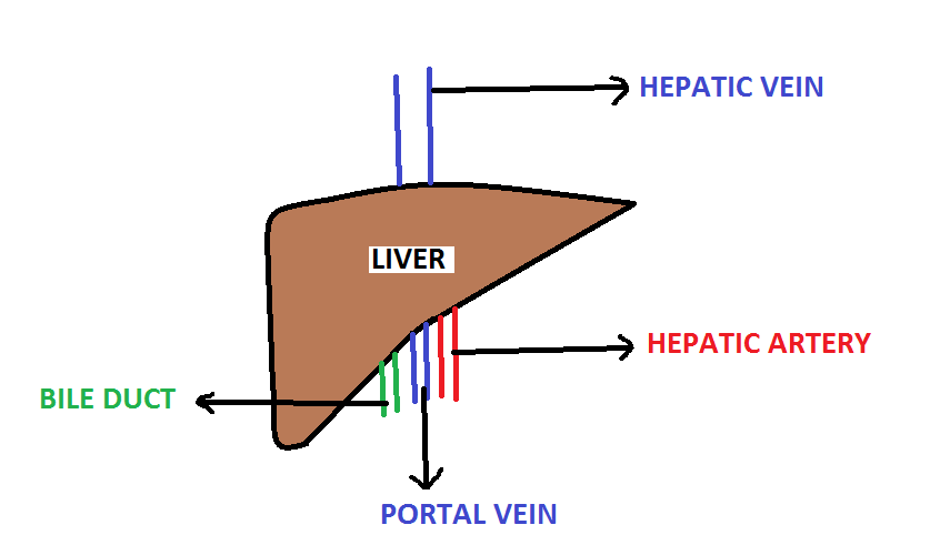 Website Exclusive For Medical Students Pathogenesis Of Liver