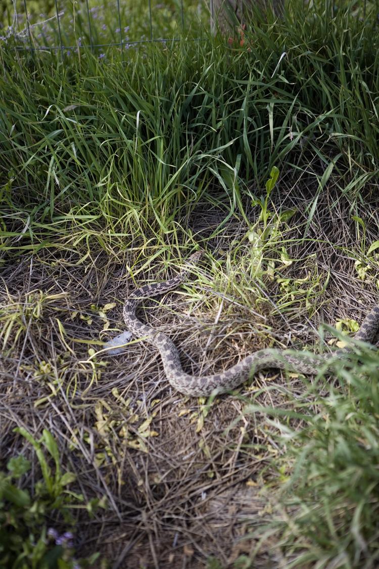 snake in the yard backyard farming2 jpg