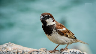 download cool sparrow hd wallpaper 2013
