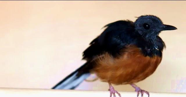 burung murai masa mabung murai batu dan tips perawatannya