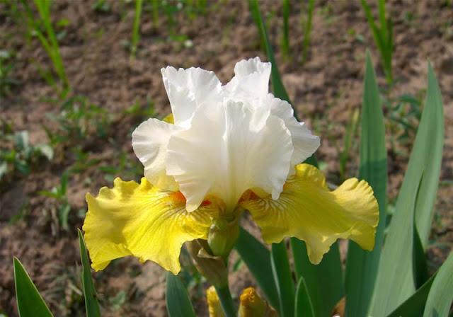Iris Flowers Pictures