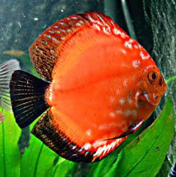 Aquarium fish others discus fish for Live discus fish for sale