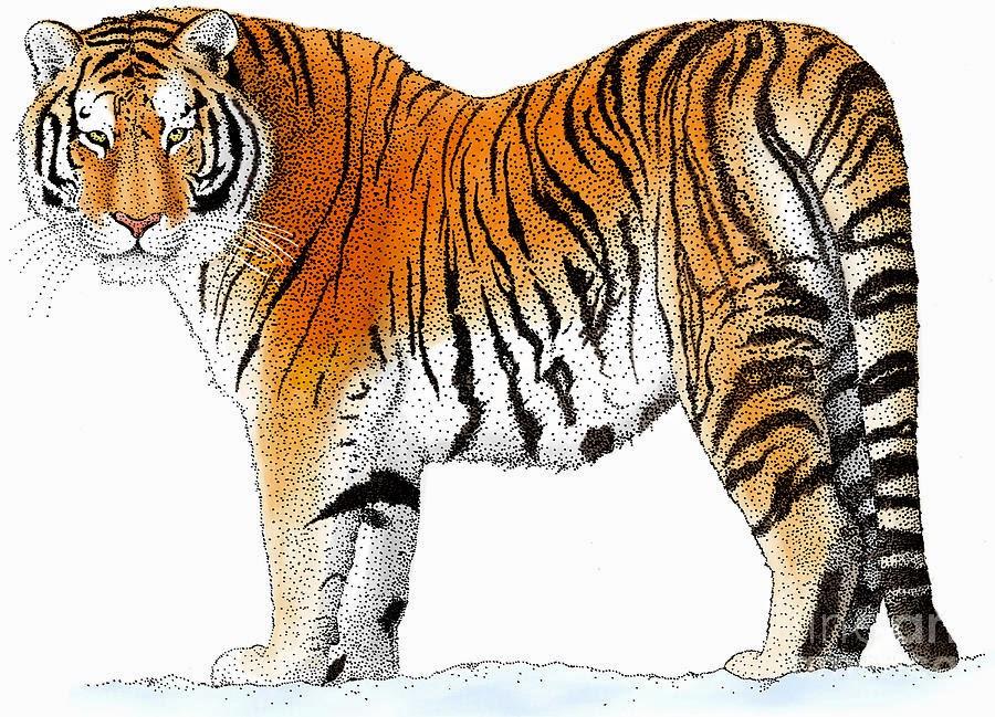 Siberian tiger drawing image or photo