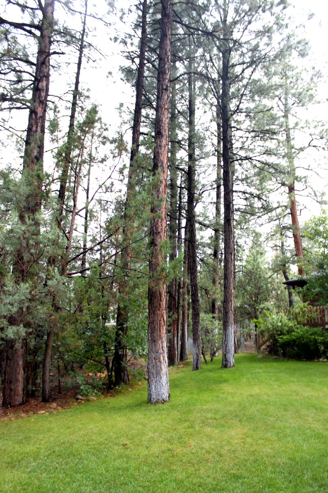 Northern Arizona Trees