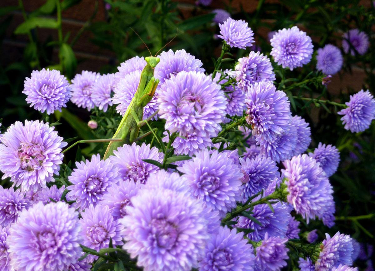 Il mondo in un giardino arrivano i settembrini - Settembrini fiori ...