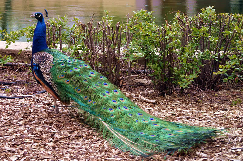 birds peacock information Peacock is a beautiful bird that is found residing only in some of the asian countries with this article, get some amazing information and interesting.