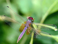 Dragon Fly Photos and Pictures 19