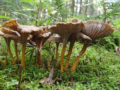 Pieprzniki trąbkowe Cantharellus tubaeformis