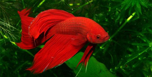 Aquarium fish for Japanese fighter fish