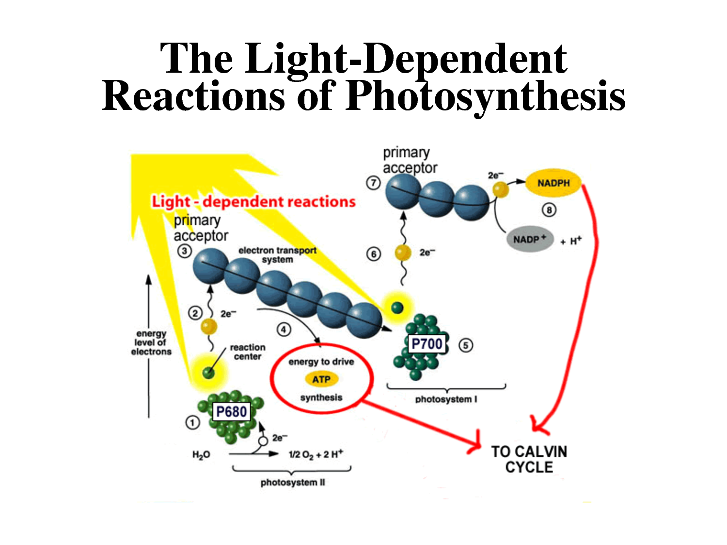 the process of photosynthesis within a carbon cycle Photosynthesis, cellular respiration and the carbon cycle plants convert the carbon in atmospheric carbon dioxide into carbon-containing organic compounds, such as sugars, fats, and proteins plants take in carbon dioxide through microscopic openings in their leaves, called stomata.
