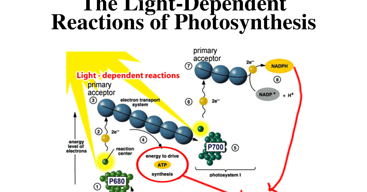 light reaction process + photosythesis The process of photosynthesis is divided into two main parts: light dependent reactions and light independent or dark reactions the light dependent reaction happens when solar energy is captured to make a molecule called atp (adenosine triphosphate.