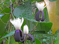 キンポウゲ科の「クレマチス スミラキフォリア」は白い花が咲く。