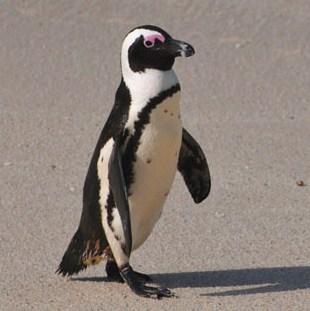 Pingüino El Cabo