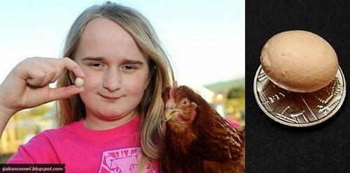 Aneh Telur Ayam Paling Kecil Didunia Tidak Lebih Besar Dari Wang Syiling