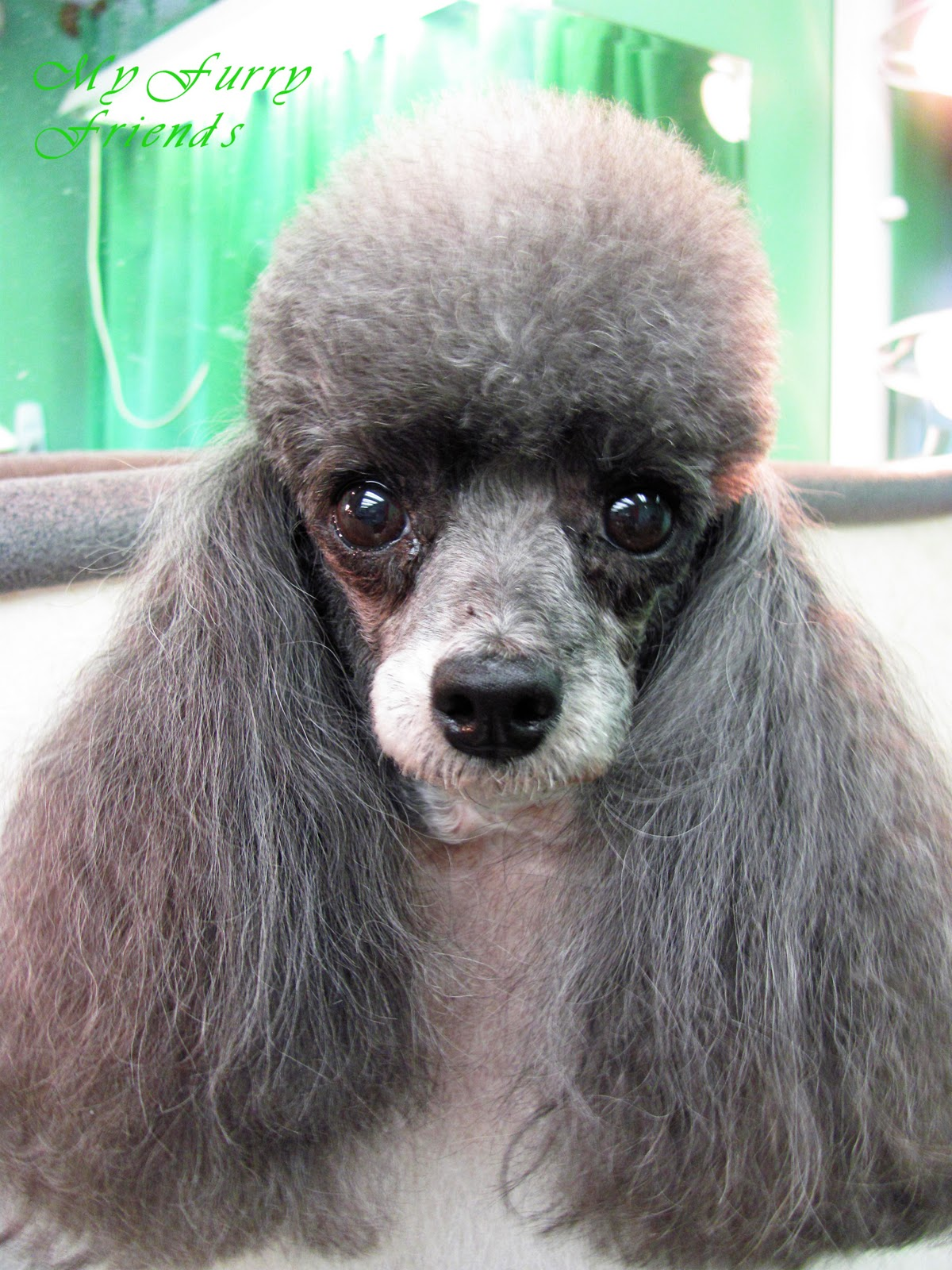 Grooming a poodle head