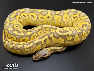 Acquisition de mon premier serpent <3 Ghost+Super+Pastel+Lesser+Platinum+Ball+Python