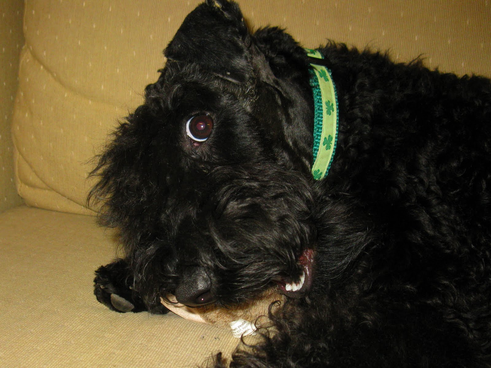 Kerry Blue Terrier Puppies Kerry blue terriers: the