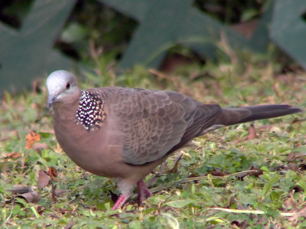 Mewarnai Gambar Burung Tekukur | Mewarnai Gambar
