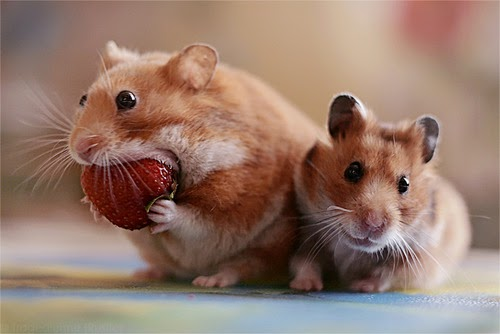 Cara Menggabungkan Beberapa Hamster Dalam Satu Kandang
