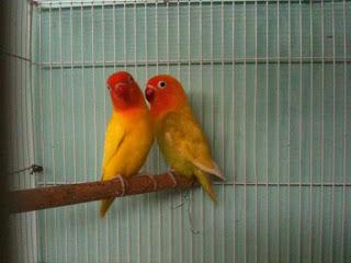Harga LoveBird Lutino Mata Hitam Berdasarkan Umur