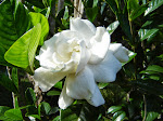 gardenia