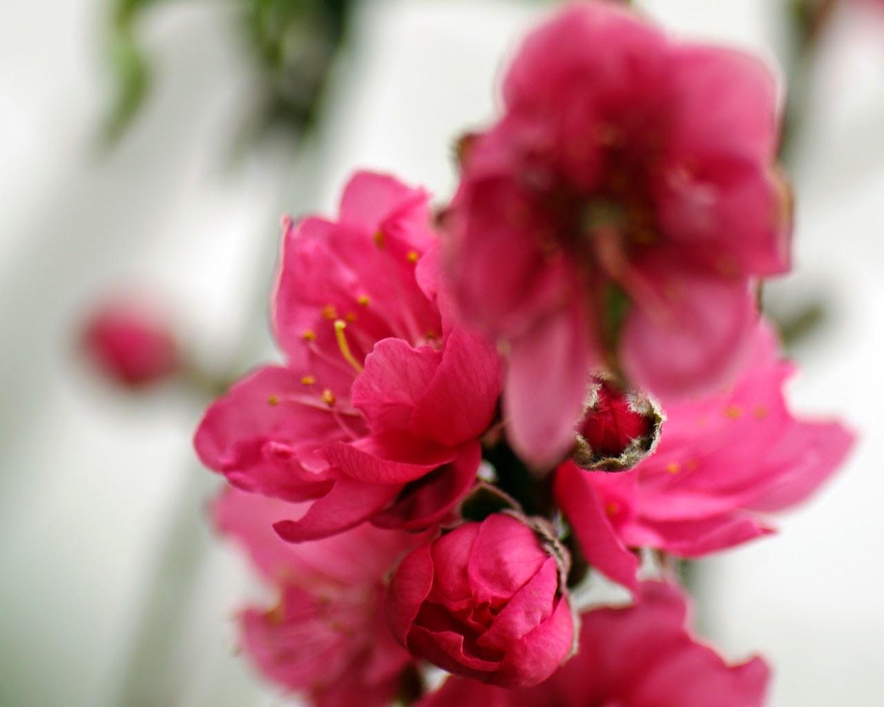 Hoa đào chào đón tết 2015