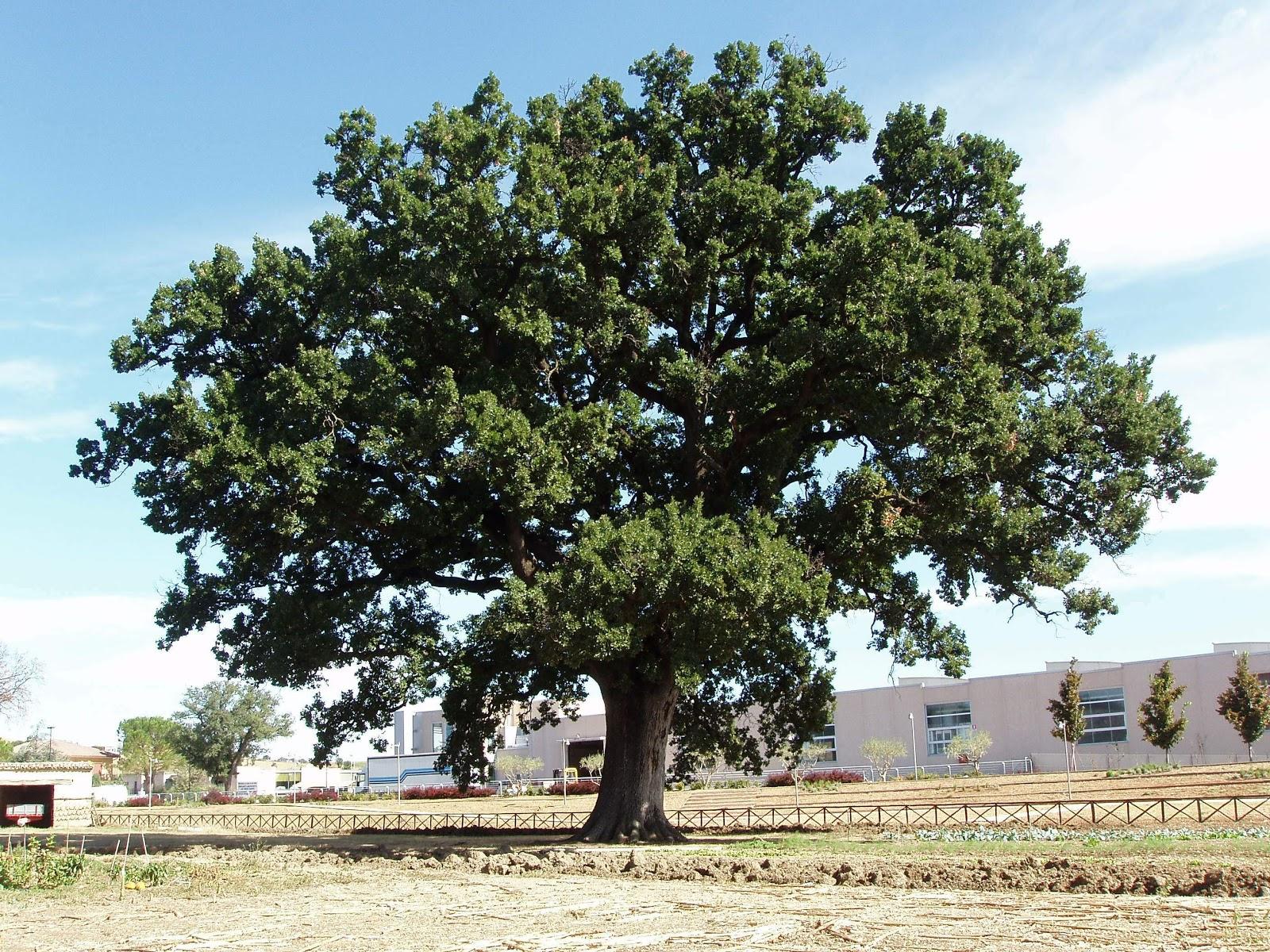 La quercia poesia di gianmaria testa for Alberi simili alle querce