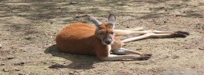Image de couverture facebook kangourou
