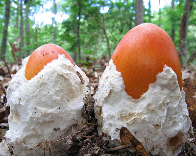Amanita jacksonii, courtesy WikiCommons.