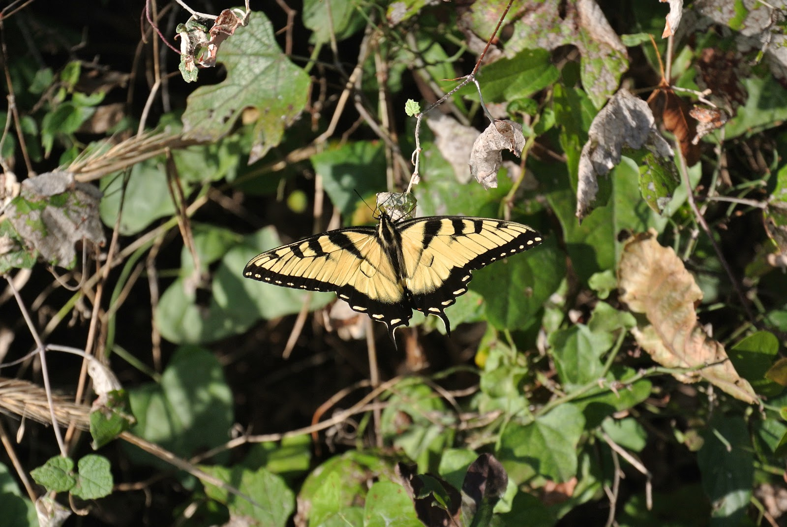 How to Find and Catch Swallowtail Butterflies forecast