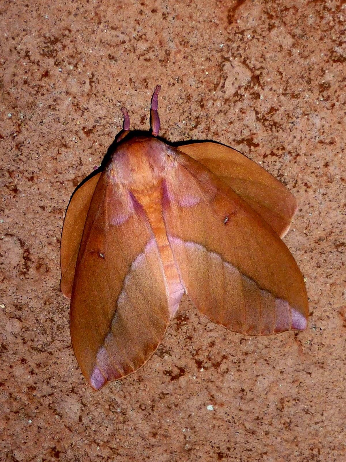 Othorene verana female