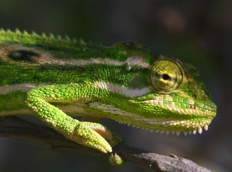 Chameleons porn