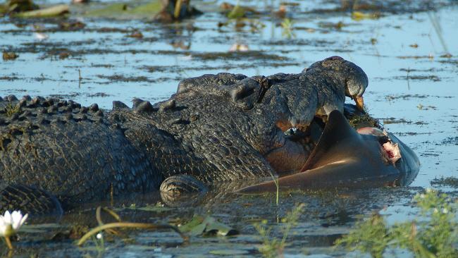 Saltwater crocodile attacks tiger - photo#24