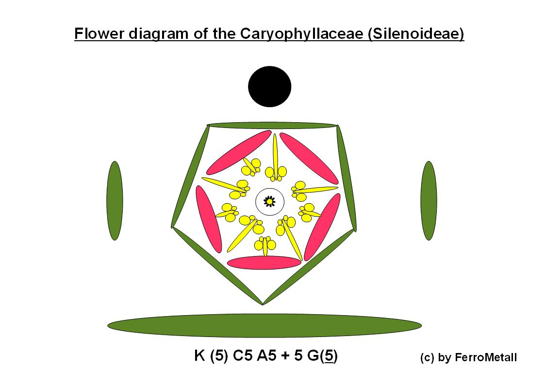 Ferros bioblog the caryophyllaceae an introduction caryphyllaceae flower diagram with apparent breach pooptronica Images