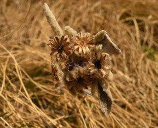 Floare de colt Leontopodium alpinum