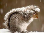 Ardillas refugiandose de la nieve con su cola