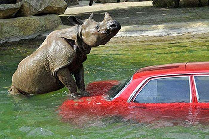 Носорог в воде