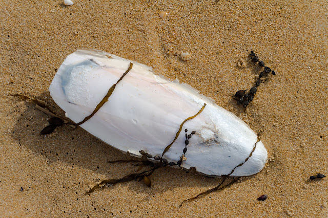 cuttlefish bone lying on sand