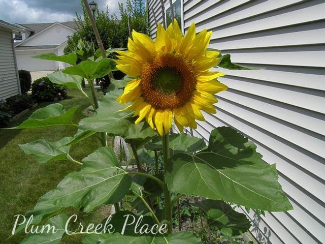 sunflower, raised flower bed