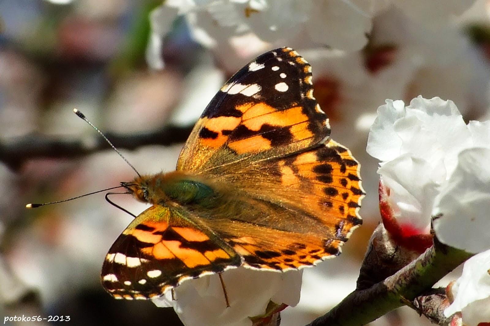 Mariposa de flor en flor Campo de Rota