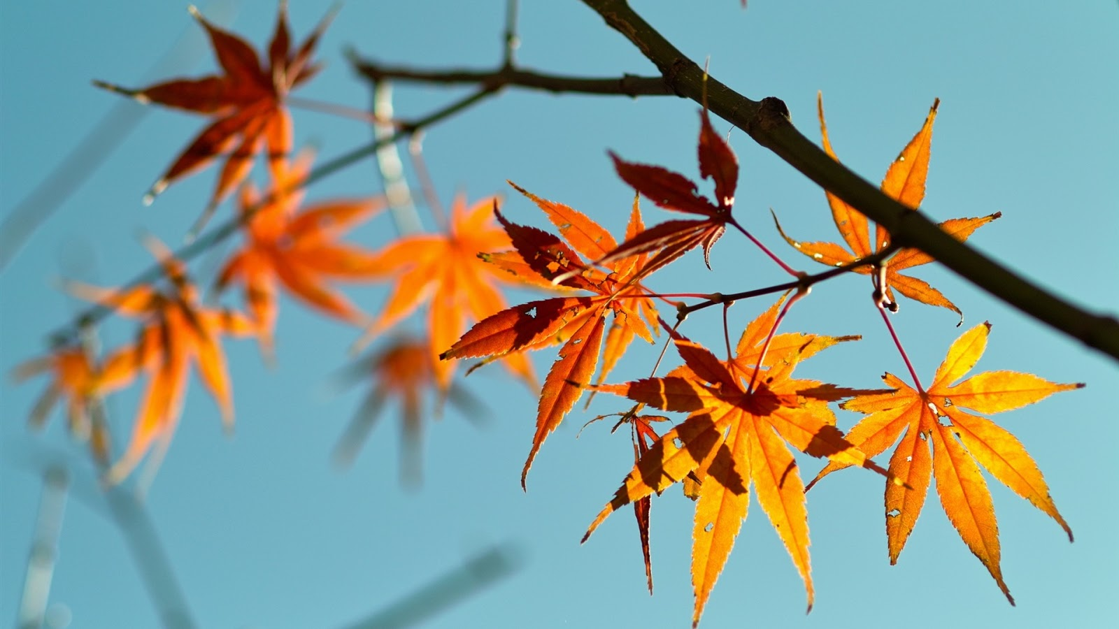 Red Maple Leaves Blue Sky