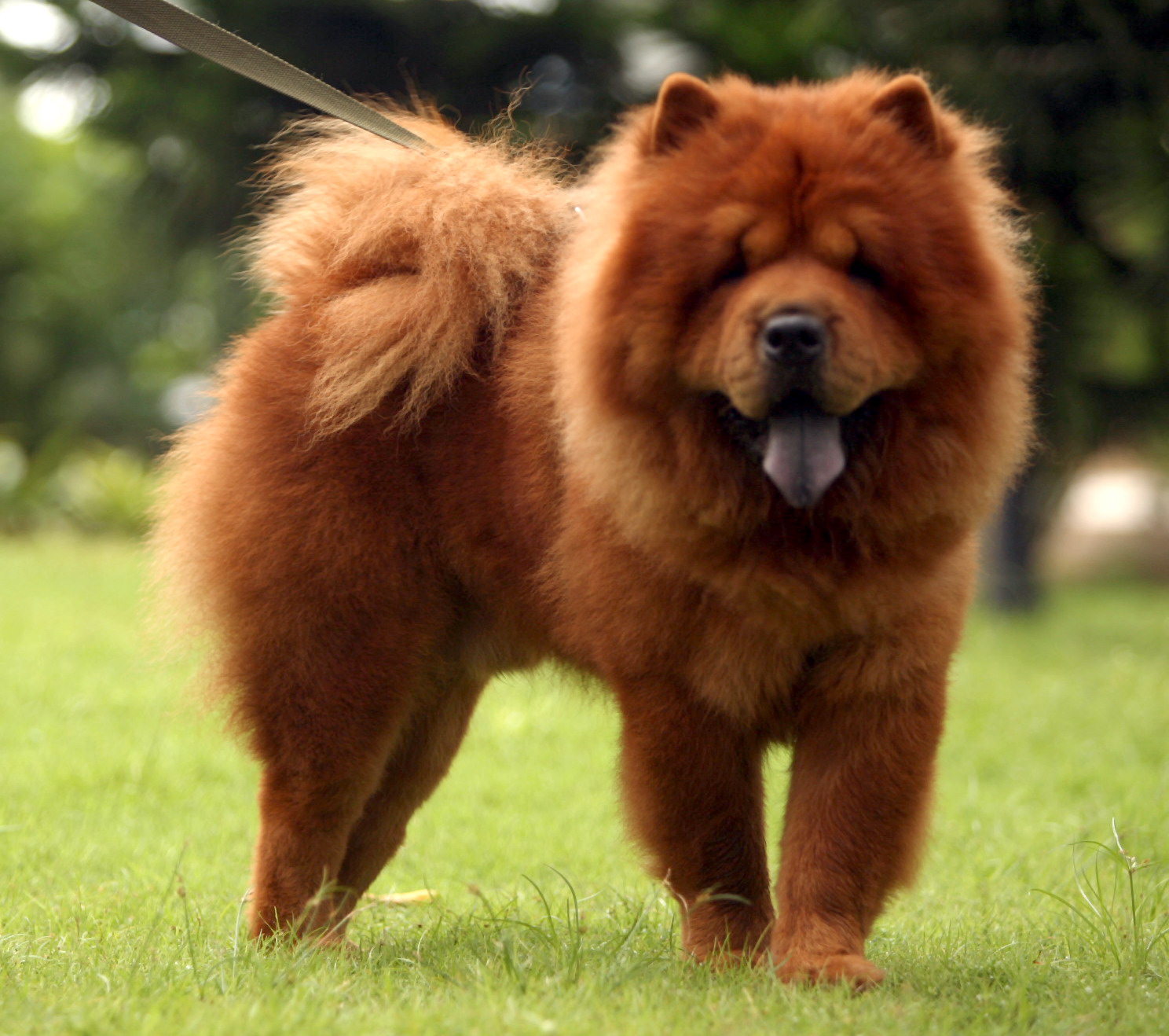 Rottweiler And Chow Mix Chow chow in 1897 and now